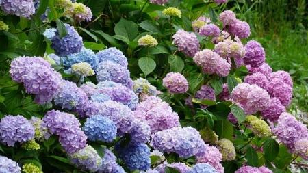 Ogled zbirke hortenzij v Botaničnem vrtu