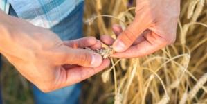 Letos manj pšenice, a precej več koruze
