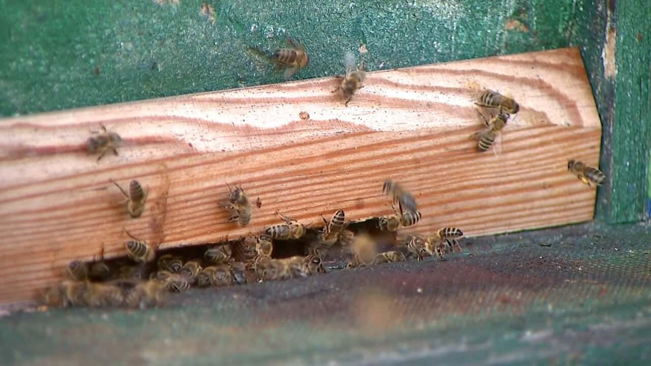 Vse več čebel in vse manj medu