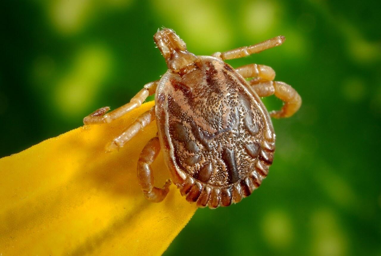 Slovenija je žarišče pojavljanja okuženih klopov